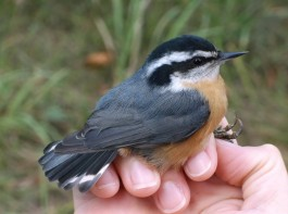 A Red-breasted Nuthatch at a banding station. Connecticut Audubon Society photo.