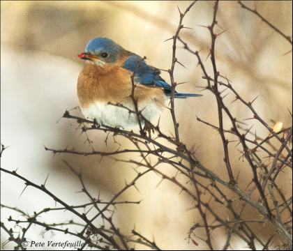 Trail Wood Bluebird The berries are becoming scarce. With these frigid temperatures, remember to fill your birdfeeder. Photo credit: Peter Vertefeuille, Hampton, CT