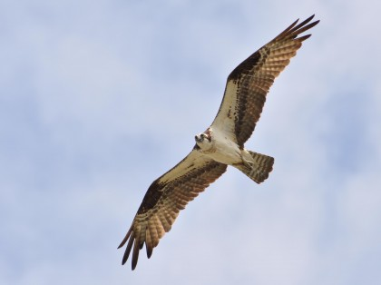 Osprey in flight - by Twan Leenders