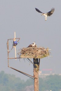 Osprey nest action at Milford Point - by Twan Leenders