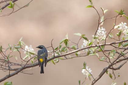 Yellow-rumped Warbler by Twan Leenders