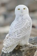 Snowy Owl at Stratford Point - by Twan Leenders