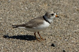 Piping Plover on a Long Island Sound beach. Photo by Sean Graesser for Connecticut Audubon Society