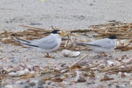 Least Terns in Stratford. Connecticut Audubon Society Photo by Scott Kruitbosch