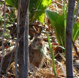 New England Cottontail in a thicket. Photo Copyright John Greene