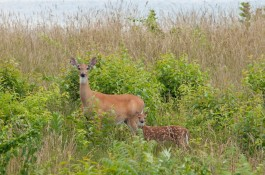 A white-tailed deer doe and fawn. Connecticut Audubon Society photo by Twan Leenders.