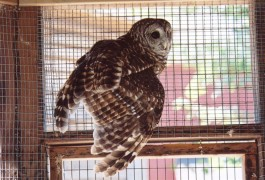 A Barred Owl in the raptor compound at our Center at Fairfield. Photo courtesy of E.H. Soderberg.