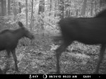 moose_adult_calf