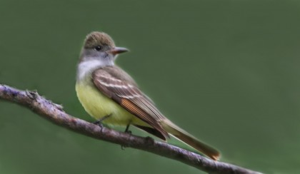 Great-crested Flycatchers are among the species that might benefit from a decrease in the use of pesticides. Photo by Sandee Harraden.
