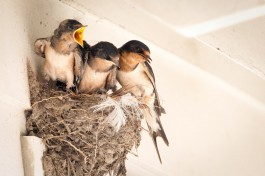 The decline in Barn Swallows might be partly attributable to the to the use of pesticides. Photo by Melissa Groo.