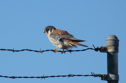 American Kestrel numbers are falling, perhaps because of pesticides. Connecticut Audubon Society photo by Scott Kruitbosch.