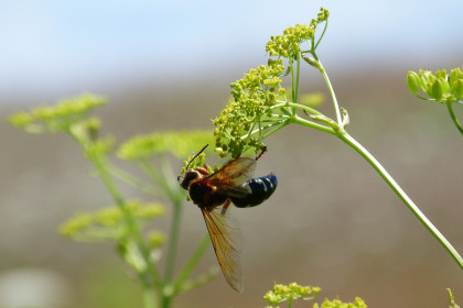 Cicada Killer wasp. Photo by Scott Kruitbosch/Copyright Connecticut Audubon Society