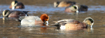 Connecticut Audubon Society Bird Finder for Friday, November 27: Eurasian Wigeon