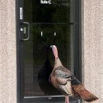 A Wild Turkey peeking in a door in Stratford. Photo by Twan Leenders/Copyright Connecticut Audubon Society