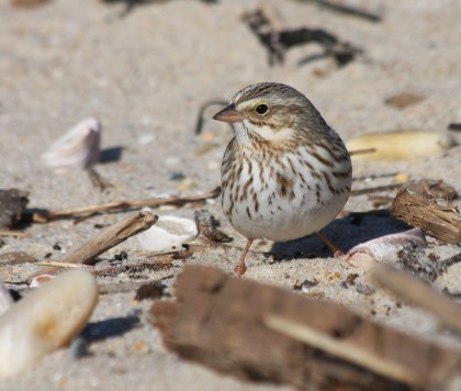 Ipswich Savannah Sparrow - Andrew Griswold