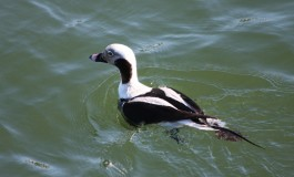Long-tailed Duck - Andrew Griswold