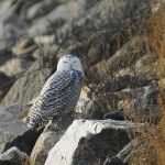 This Snowy Owl was resting recently on the rocks at Stratford Point. Photo by Anthony Zemba/Copyright Connecticut Audubon Society