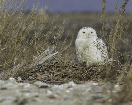 Snowy Owl-Milford Point 1-1-2014 8x10 EA7G6780