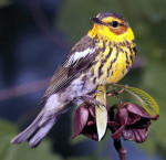 Warbler,_Cape_May_FWS