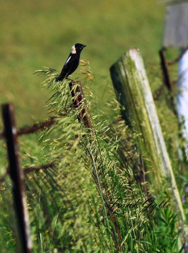 Bobolinks are among the grassland birds that would benefit from better conservation management. Connecticut Audubon Society photo by Frank Gallo