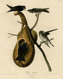 375px-Purple_Martin_(Audubon)
