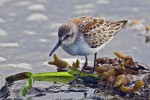 Western Sandpiper, Cattle Point, Uplands, Near Victoria, British Columbia