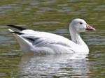 Goose, Snow Luray_VAbyDickDaniels
