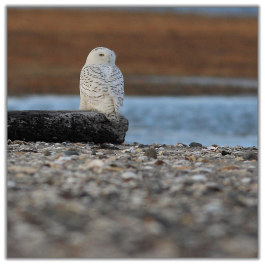 Photo of Snowy Owl at Milford Point taken in early 2014 by Kin Cheng.