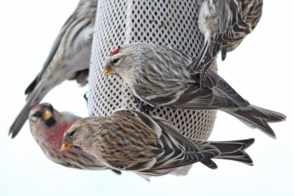 These redpolls are eating thistle from a sock feeder. The bird in the middle is a Hoary Redpoll, the others are Commons. Photo by Nick Bonomo.
