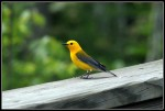 Warbler,_Prothonotory_Curtzsi