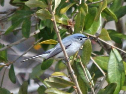 gnatcatcher, blue-grey 03-23b