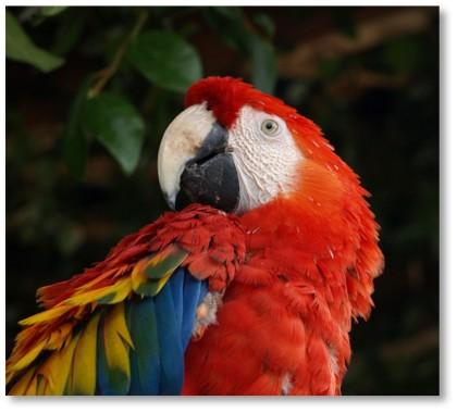Macaw - Ben Lunsford