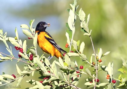 Baltimore Oriole 6018s