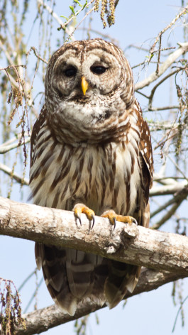 Barred Owl, Photo by Brian Fisher
