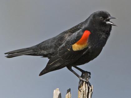 Black, Red-winged Alan_D_Wilson