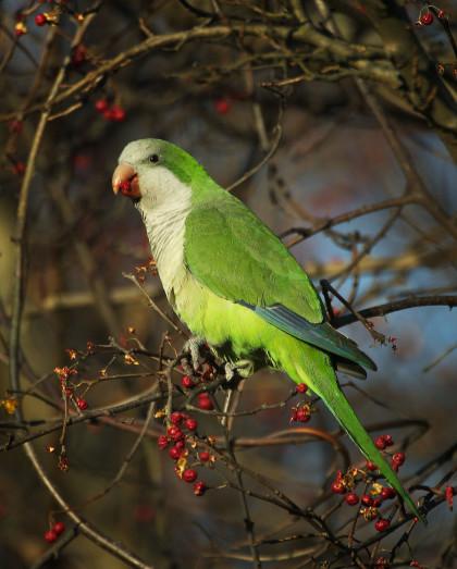 monk parakeet eating larger file
