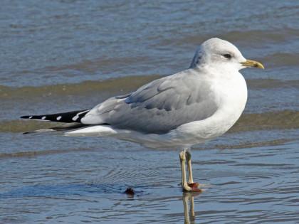 Gull,_Mew_HMB