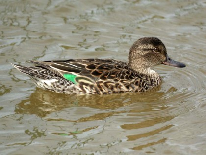 Teal,_Green-winged_Bolsa_Chica_Wetlands_NewJerseyBirds