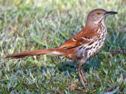 thrasher, brown 04-24 SeaTrail