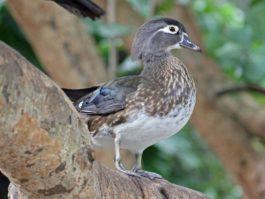 Duck, Wood female FG