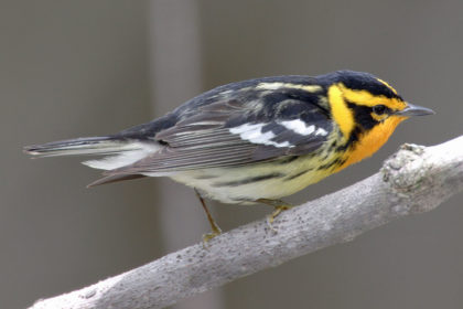 Warbler,_Blackburnian_Mdf