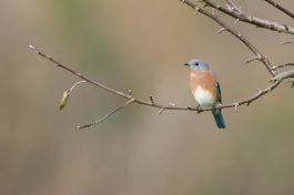 Eastern Bluebird2 by Twan Leenders