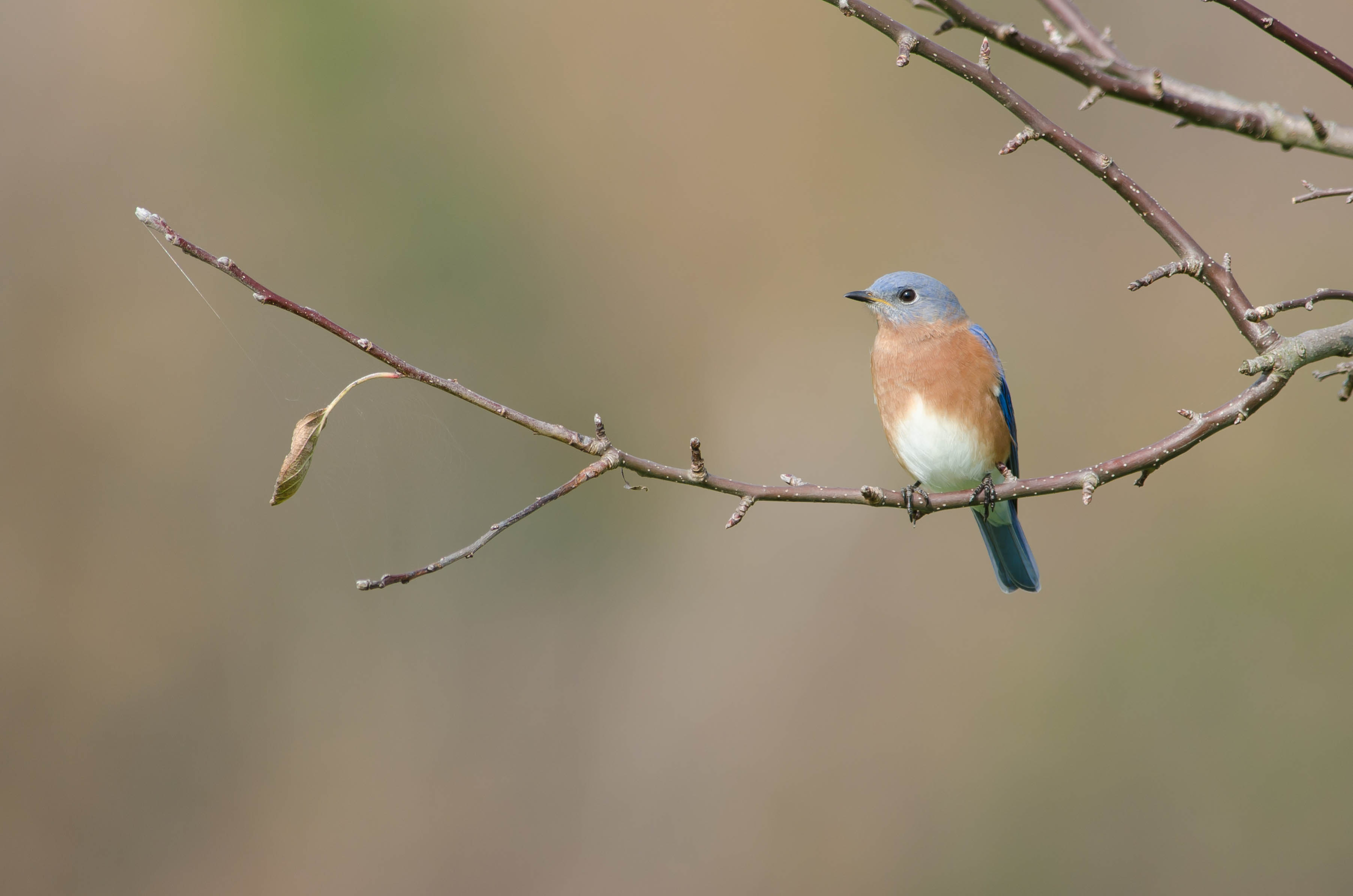Eastern Bluebird2 by Twan Leenders