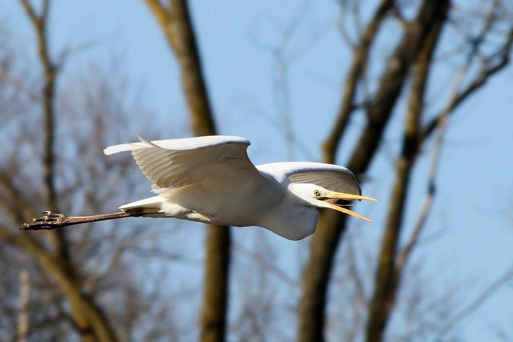 Egret,_Great_White_Crolle