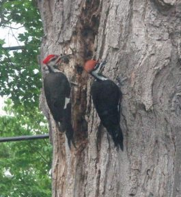 Woodpecker pair by Taylor Vincent.