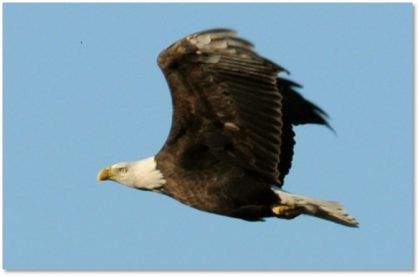Bald_Eagle_in_Flight_USFWS