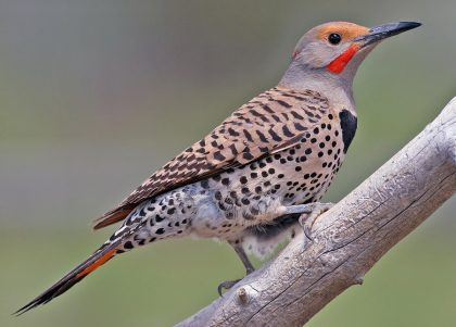 Northern Flicker (Male), Cabin Lake Viewing Blinds, Deschutes National Forest, Near Fort Rock, Oregon