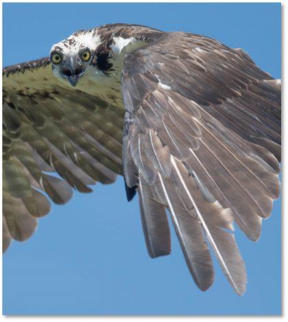 Osprey - Bill Canosa