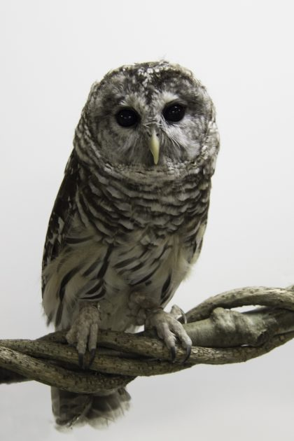 cookie-barred-owl-aviary