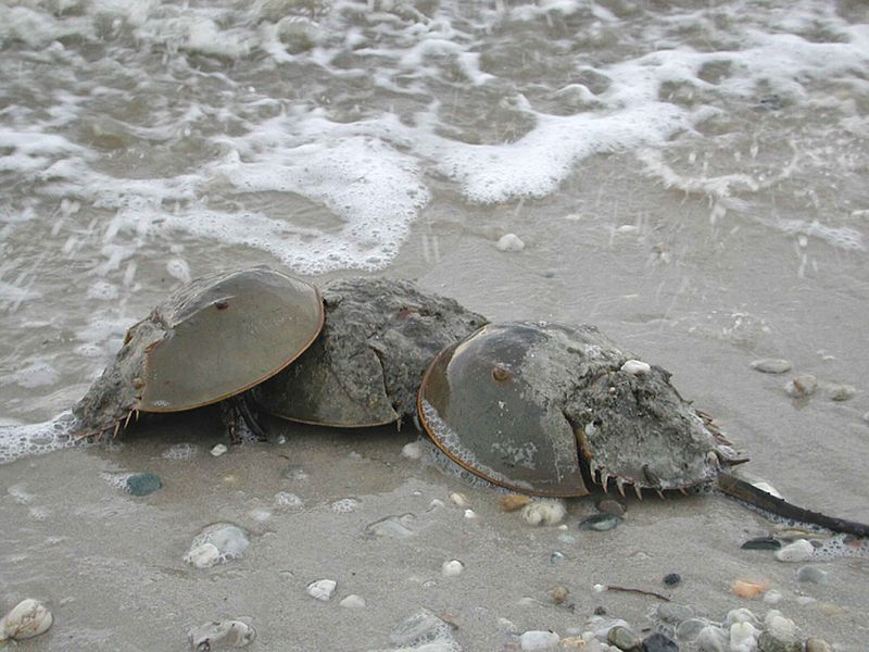 800px-Three_horseshoe_crabs_arthropods_limulus_polyphemus